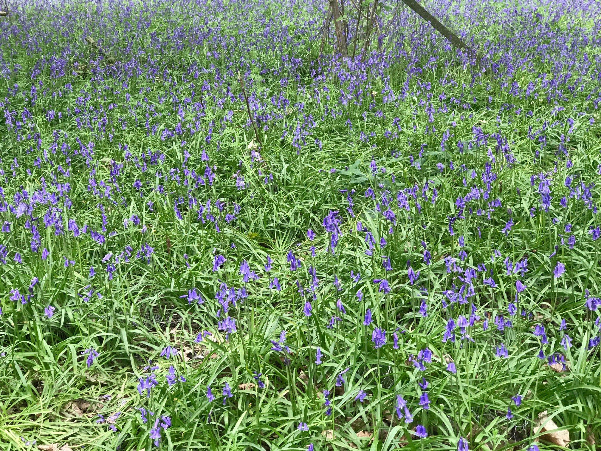 Bluebell Walks in Berkshire