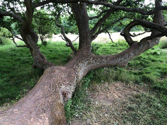 Climbing tree at Bramshot Farm Country