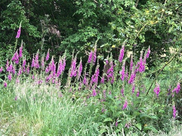 Foxgloves at Bramshot Farm Country