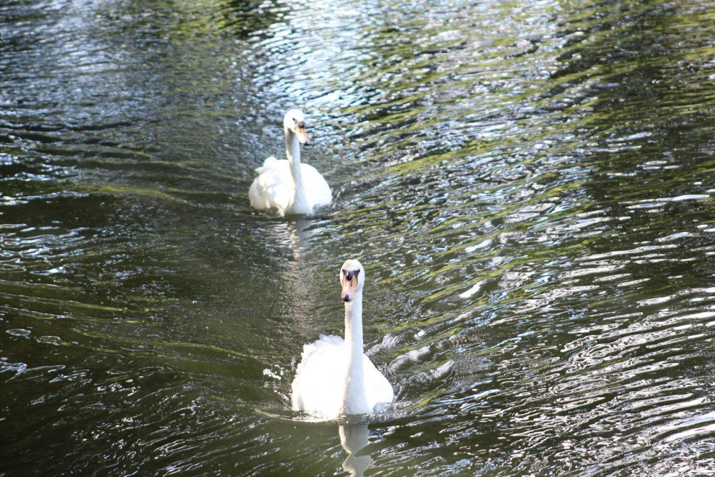 Swans at Goring Gap