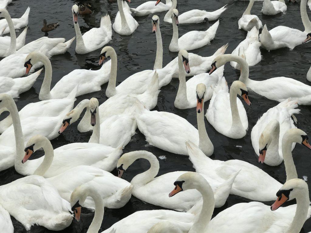 Swans in Windsor