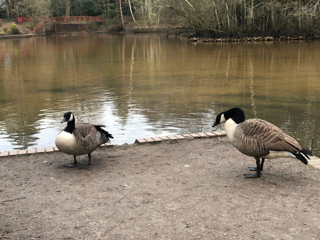 Geese at Savernake