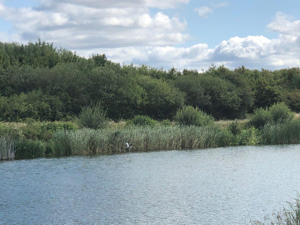 The Jubilee River Heron Flying