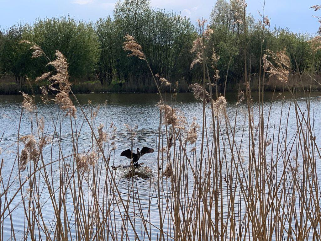 Cormorant at Dorney Wetlands