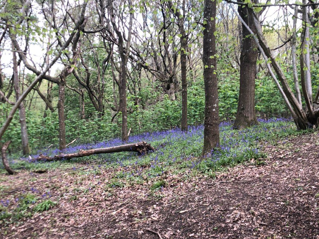 Bluebells Donnington