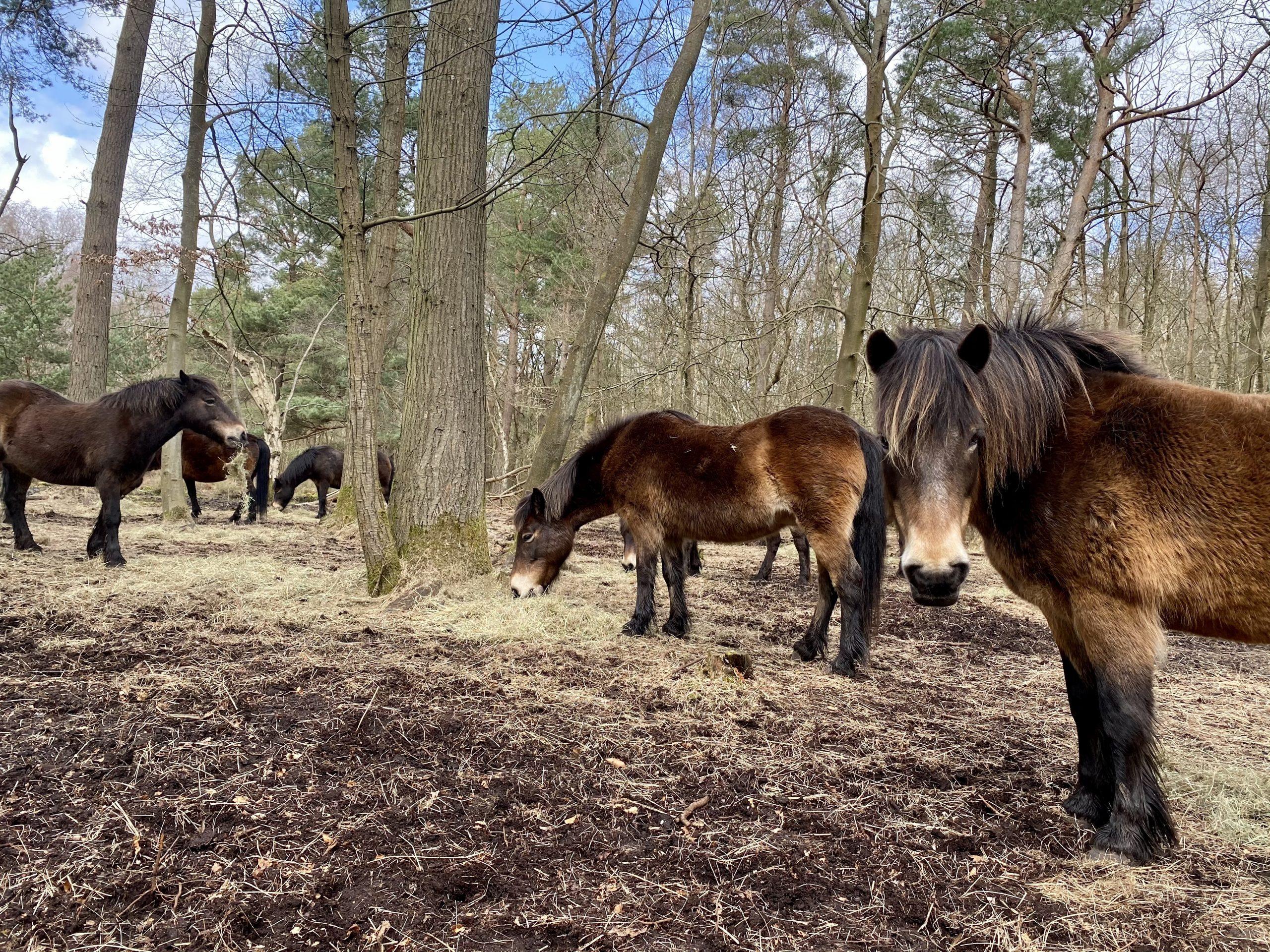 Snelsmore Common Ponies