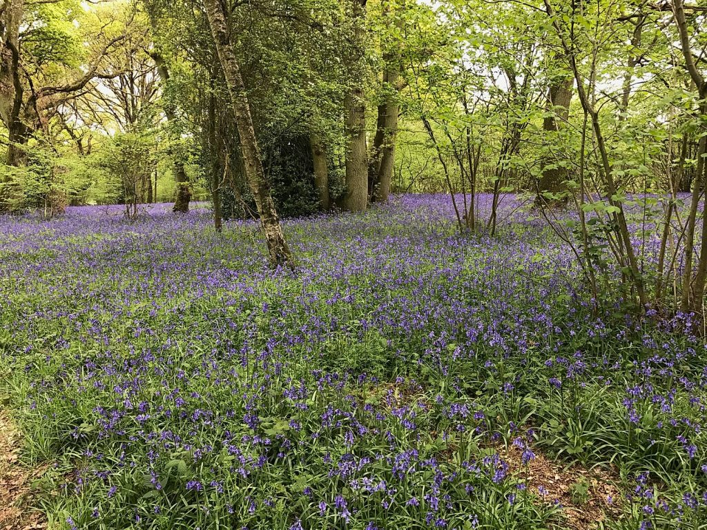 Bluebells in Berkshire and the surrounding area