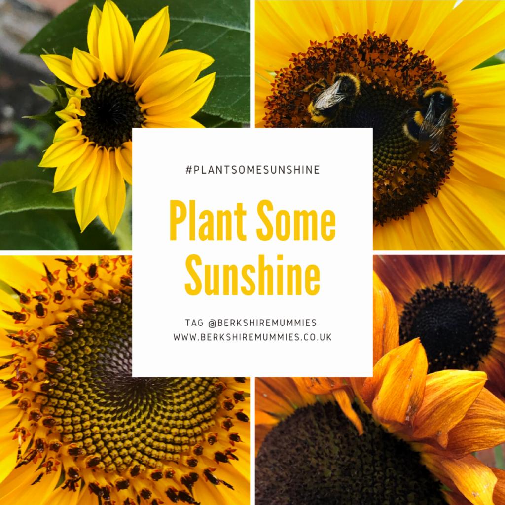 Growing sunflowers to #plantsomesunshine