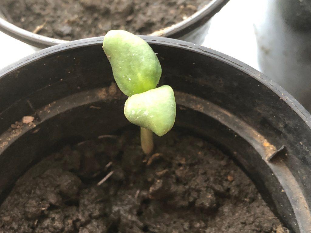Suflower Seedling