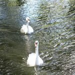 Swans at Goring Gap