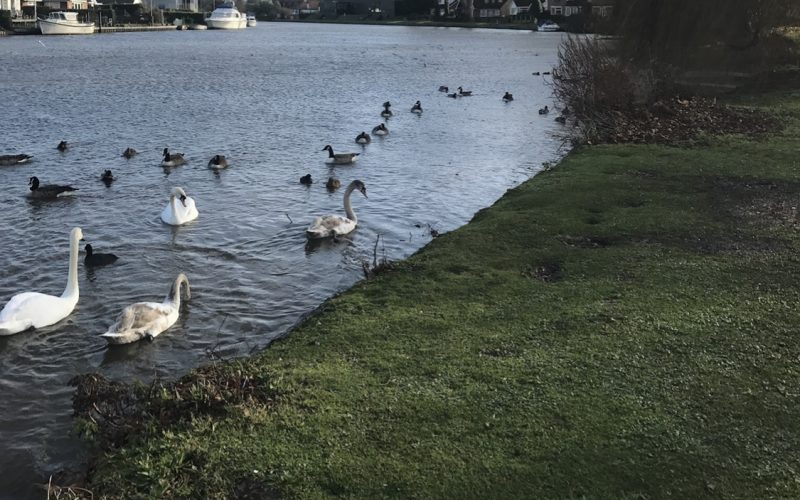 Places to feed the Ducks in Berkshire